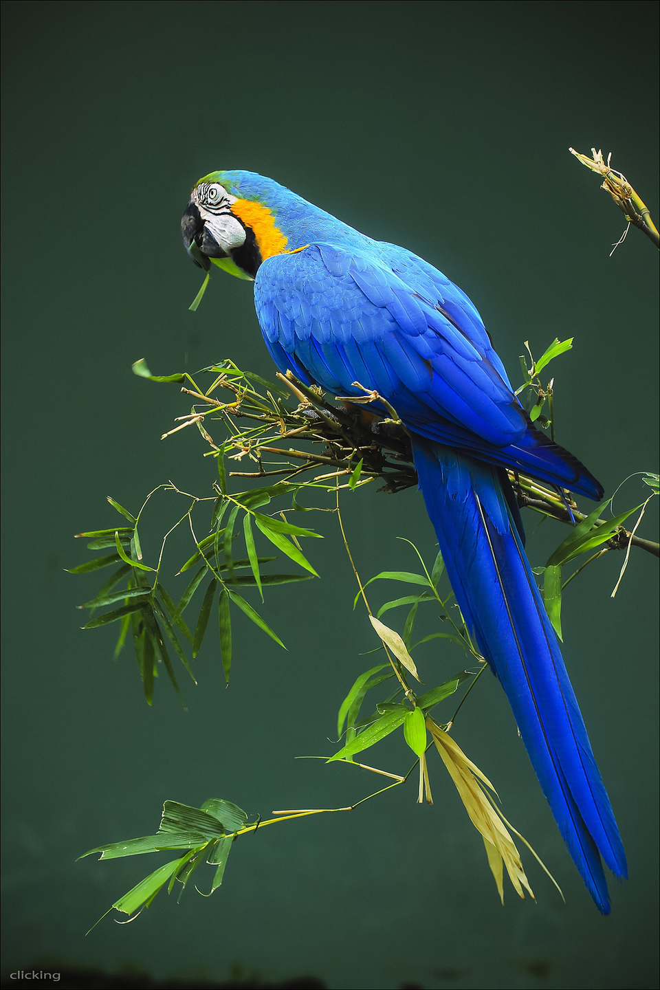 blue_and_yellow_macaw_025.jpg