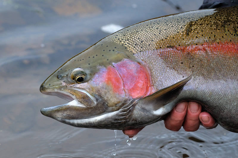 big-rainbow-trout.jpg